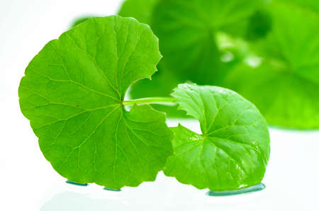 インド ペニーワー (ツボクサ (l.) 都市。) 脳の強壮ハーブ植物です。