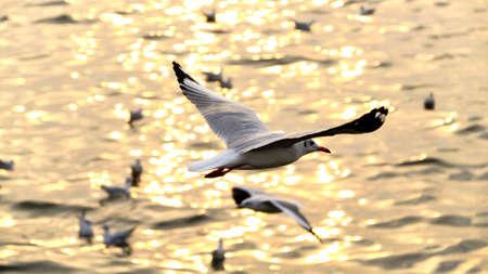 winter urban wildlife: Migrate seagull in sunsets at QM. Bangpu Recreation Center, Samutprakarn province, Thailand.