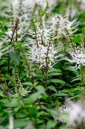 exported: Java tea, Kidney tea plant or Cat%uFFFDs whiskers (Orthosiphon aristatus (Blume) Miq. ) is a popular herbal remedy in southeast Asia and is also commonly exported to Germany and various other countries.