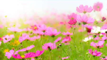 Cosmos field in soft light tone.