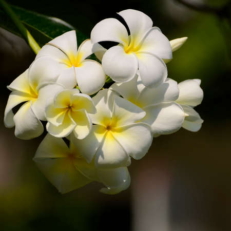 White and yellow Plumeria spp. (frangipani flowers, Frangipani, Pagoda tree or Temple tree) on soft natural green background.