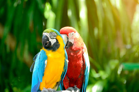 ararauna: Blue - Gold Macaw and Scarlet Macaw parrot on naatural green background. Stock Photo