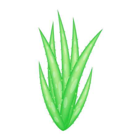 Aloe Vera (Aloe barbadensis Mill.,Star cactus, Aloe, Aloin, Jafferabad or Barbados) a very useful herbal medicine for skin care and hair care. Banque d'images