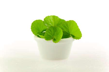 Natural Gotu-Kola leaves in white pot on white background. Stock Photo