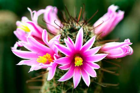 Pink flower of Mammilaria spp. on cactus garden