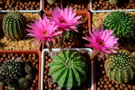 Pink flowers of hybrid cactus between Echinopsis and Lobivia with green and yellow variegated stem.