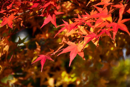 Maple Tree Garden in Autumn. Red Japanese Maple leaves in Autumn with evening light. Archivio Fotografico - 129150363