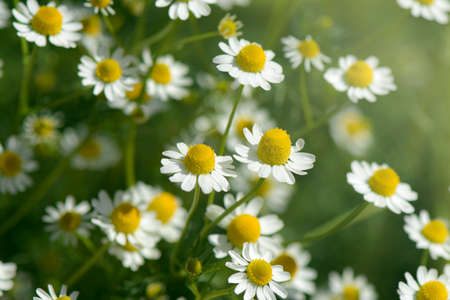 Organic Chamomile (Chamaemelum nobile L.). on natural plantation field. Chamomile is used for sleep aid, mild sedative, lower anxiety and some inflammation inside the body. Stock Photo