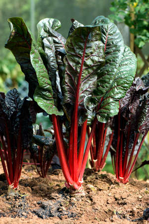 Organic Swiss chard or Red-stemmed chard in plantation field. Raw Swiss chard has rich content of vitamins A, K, C, E and the dietary minerals, magnesium, manganese, iron, and potassium