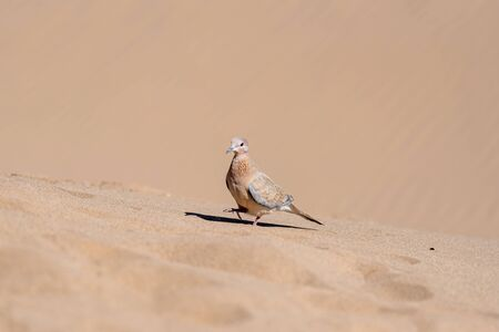 Pigeon walking on a sand dune in lut desert