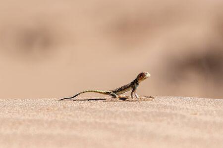 a lizard in the desert in iran Reklamní fotografie