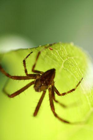 Spider lurking on a leaf photo