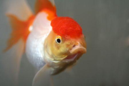 oranda: Goldfish di Oranda, fine in su Archivio Fotografico