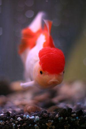 Red Oranda goldfish photo