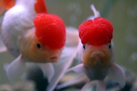 oranda: Goldfish rosso di oranda della protezione Archivio Fotografico