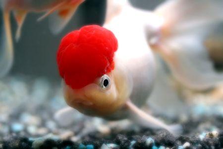oranda: Red cap oranda goldfish, close-up Stock Photo