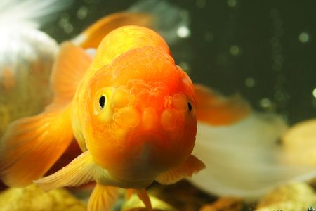 fishtank: A close up of a lion head goldfish Stock Photo