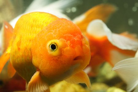 lionhead: A close up of a lion head goldfish Stock Photo