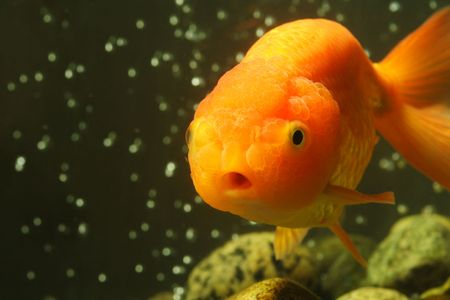 lionhead: A macro shot of a lion head goldfish