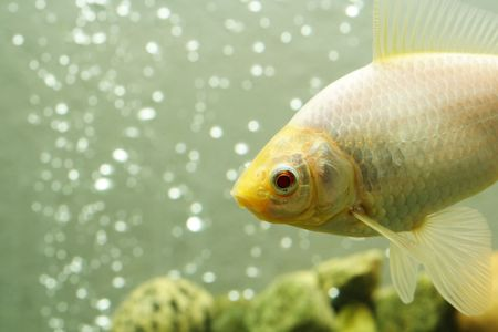 A close up shot of a white common goldfish Stock Photo