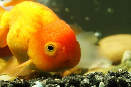 lionhead: A close up shot of a lion head goldfish Stock Photo