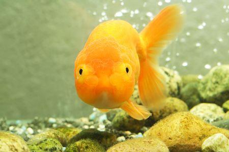 A lion head goldfish inside an aquarium