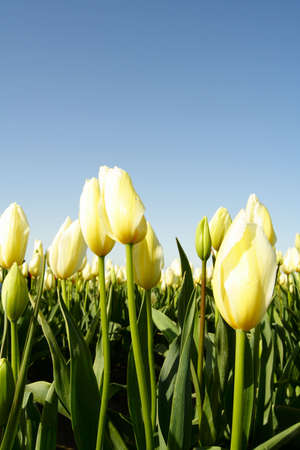 A field of white and yellow tulips photo