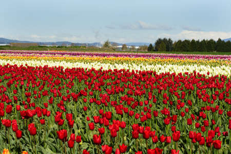 A field of different color of tulips photo