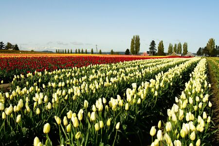 A field of tulips with variety of colors photo