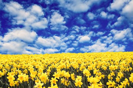 A field of yellow daffodils under the clouds