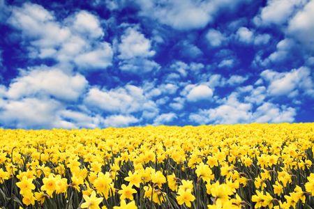 Een veld van gele narcissen onder de wolken