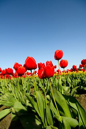 A field of beautiful bright red tulips