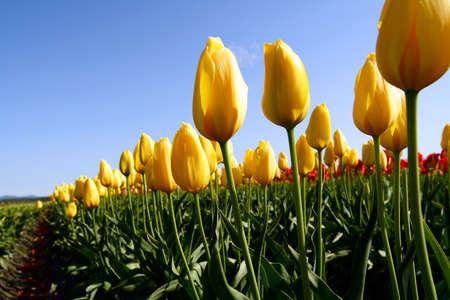 A field of beautiful bright yellow tulips photo