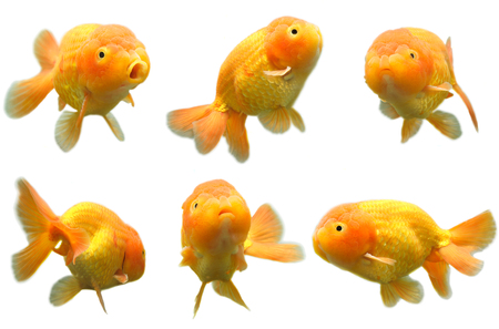 fishtank: A shot of six different poses of a lion head goldfish Stock Photo