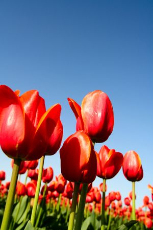 A field of beautiful red tulips shot from low angle photo