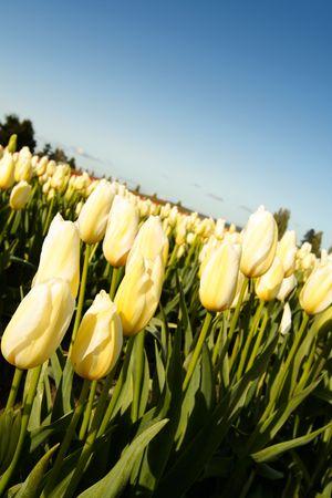 A shot of beautiful yellow tulips field photo