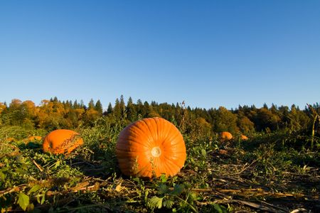 A shot of pumpkins on the ground at the farm Stock Photo - 3420232