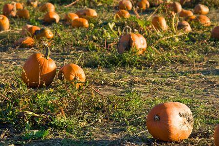 A shot of pumpkins on the ground