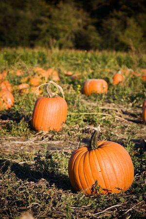 A shot of pumpkins on the farm photo