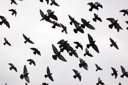 palomas volando: Siluetas de las aves de vuelo en blanco y negro