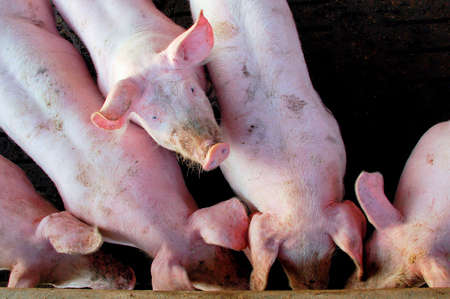 stock breeding: A pig looks up from a crowd in a stable Stock Photo