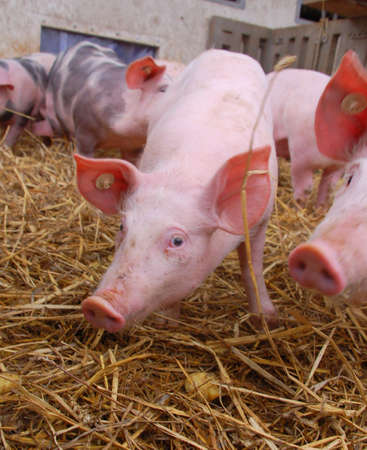 A bunch of pigs on hay covered ground Stock Photo