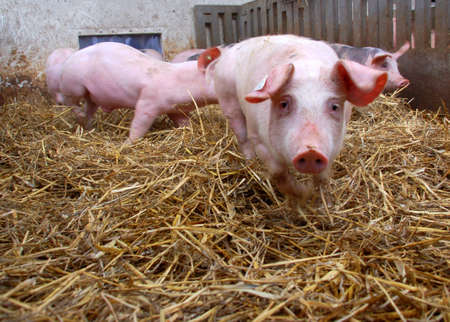 viandes et substituts: Porcs dans une �curie avec du foin sur le terrain