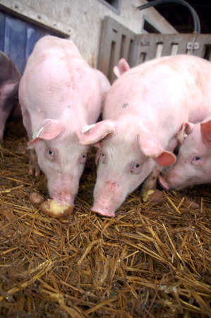 pigpen: Young pigs eating potatoes in a pigpen Stock Photo