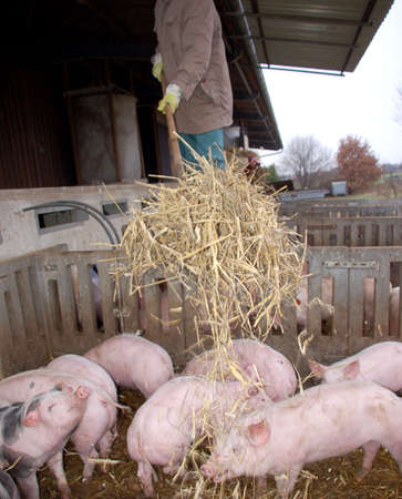 pigpen: Man bringing in new hay into the pigpen Stock Photo