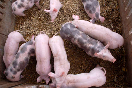 pigpen: Pigs in a pigpen with hay - viewed from above