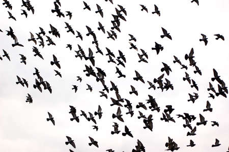 vol d oiseaux: Silhouettes d'un troupeau de pigeons sur un fond blanc