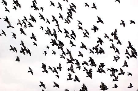 palomas volando: Siluetas de una bandada de palomas sobre un fondo blanco Foto de archivo