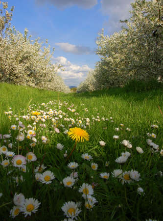 Dandelion and daisys on grass with blooming apple trees photo
