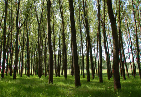 alluvial: High trees with green grass in an alluvial forest